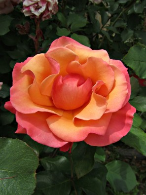 Perfect Orange Rose