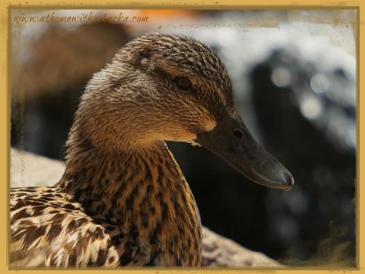 DuckBrown