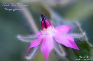 Pink Star Flower