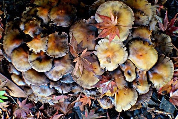 Ringless Honey Mushroom Northern California