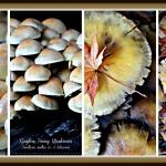 Ringless Honey Mushrooms