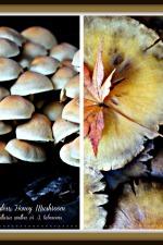 Ringless Honey Mushroom Collage1
