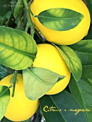 Meyer lemon Cluster